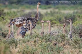 somali ostrich, autruche de somalie, avestruz somali, wildlife of kenya, birds of kenya, nicolas urlacher