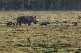 Hyenas Vs rhinos, hyenas harassing mother rhino with calf, hyenas attacking rhino, nakuru national Park, wildlife of kenya, Nicolas Urlacher