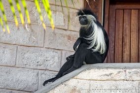 angolan colobus, colobe d'angola, colobus angolensis, colobo angoleno, Nicolas Urlacher, wildlife of kenya, monkeys of kenya, monkeys of africa