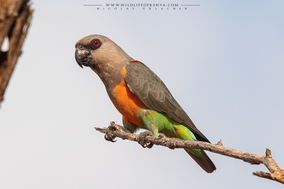 red-bellied parrot, perroquet à ventre rouge, lorito ventrirrojo