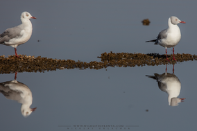 grey-headed gull, mouette a tete grise, gaviota cabecinegra, Graukopfmöwe, Chroicocephalus cirrocephalus poiocephalus, birds of kenya, wildlife of kenya, birds of africa, Nicolas Urlacher