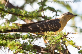 Great spotted cuckoo, coucou geai, crialo europeo, Häherkuckuck, Clamator glandarius, Nicolas Urlacher, wildlife of kenya, birds of kenya, birds of africa