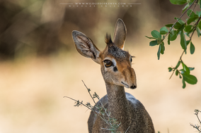 günther's dik-dik, dik-dik de Günther, dicdic de Günther, ongulates of kenya, wildlife of kenya, Nicolas Urlacher, laikipia
