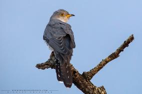 Cuculus canorus, common cuckoo, coucou gris, birds of kenya, migrant bird