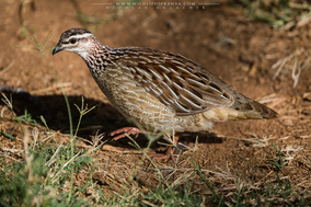 crested francolin, francolin huppé, francolin capirotado, Dendroperdix sephaena, wildlife of kenya, birds of kenya, birds of africa, Nicolas Urlacher