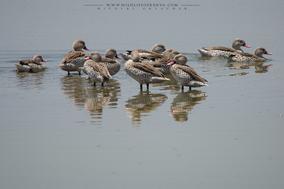 cape teal, canard du cap, cerceta de el cabo, duck, birds of kenya, birds of africa, water birds, Nicolas Urlacher, wildlife of Kenya