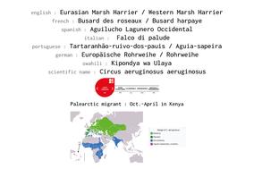 distribution of western marsh harrier