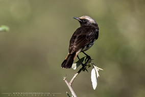 abyssinian wheater, Oenanthe lugubris, traquet d'abyssinie, collalba de shallow,  shallow's wheatear, Nicolas urlacher, birds of africa, birds of kenya, wildlife of kenya