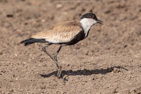 Vanellus spinosus, spur-winged lapwing, spur-winged plover, vanneau a eperons, avefria espinsosa, birds of kenya, wildlife of kenya