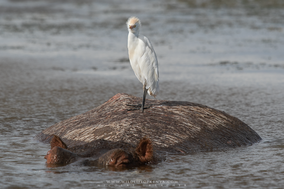 cattle egret on hippopotamus