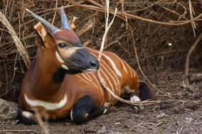 moutain bongo, eastern bongo, bongo des montagnes, bongo oriental, Tragelaphus eurycerus isaaci, critically endangered species, wildlife of kenya, Nicolas Urlacher