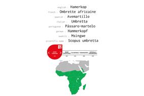 distribution of Hamerkop