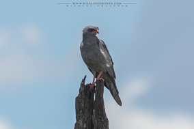 dark chanting goshawk, autyour sombre, azor lagartijero oscuro, birds of prey of kenya