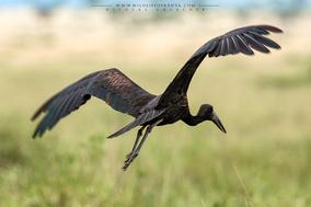 african openbill stork, bec-ouvert africain, picotenaza africano, birds of kenya, birds of africa, wildlife of kenya, Nicolas Urlacher