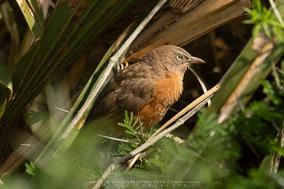 rufous chatterer, Argya rubiginosa, cratérope rubigineux, turtoide herrumbroso, birds of kenya, wildlife of kenya