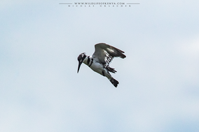 Pied kingfisher, martin-pêcheur pie, martin pescador pio, Ceryle rudis rudis, Graufischer, Nicolas Urlacher, wildlife of kenya, birds of kenya, birds of africa