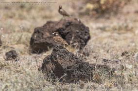 Eremopterix leucopareia, fischer's sparrow-lark, moinelette de fischer, terrera cariblanca, birds of kenya, wildlife of kenya, birds of samburu