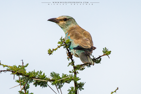 European roller, rollier d'europe, carraca europea, Coracias garrulus, birds of kenya, migrants, Nicolas Urlacher, wildlife of kenya