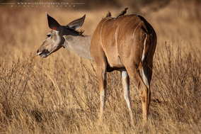 greater kudu, grand koudou, kudu mayor, Samburu national reserve, wildlife of kenya, Nicolas Urlacher