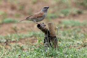 northern grey-headed sparrow, Passer griseus, moineau gris, gorrion gris, birds of kenya, awildlife of kenya