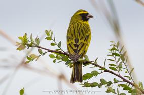 african citril, Crithagra citrinelloides, serin d'abyssinie, serin etiope, Nicolas Urlacher, wildlife of kenya, birds of kenya
