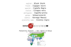 black stork, cigogne noire, cigueña negra, cicogna nera, Schwarzstorch, Ciconia nigra, Nicolas Urlacher, wildlife of kenya, birds of kenya, birds of africa, oiseaux migrateurs, migratory birds, palearctic migrant