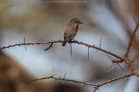 spotted flycatcher (Muscicapa striata), gobemouche gris, papamoscas gris, birds of kenya, wildlife of kenya