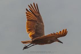 hamerkop, ombrette africaine, avemartillo, Nicolas Urlacher, wildlife of Kenya, birds of kenya