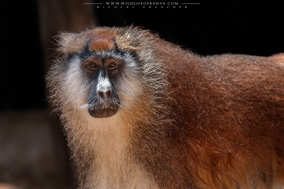 patas monkey, patas, mono patas, wildlife of kenya, monkeys of Kenya, Nicolas Urlacher