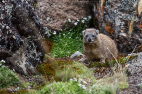 rock hyrax, mount kenya, daman des rochers, daman, wildlife of kenya