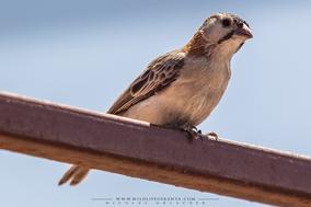 speckle-fronted weaver, Sporopipes frontalis, Sporopipe quadrillé, tejedorcito frontal, birds of kenys, wildlife of kenya