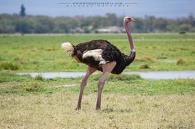 common ostrich, autruche d'afrique, avestruz, wildlifeofkenya.com, birds of Kenya, widllife of Kenya, Nicolas Urlacher