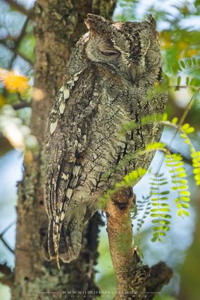 otus senegalensis, petit duc  africain, autillo africano, birds of prey, african scops owl, birds of kenya, wildlife of kenya,