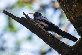 abyssinian scimmitarbill, irrisor à cimeterre, Rhinopomastus minor, abubilla arborea menor, birds of kenya, wildlife of kenya
