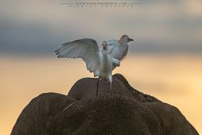 cattle egret on elephant