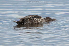 common teal, anas crecca, sarcele d'hiver, cerceta comun, wildlife of kenya, birds of kenya