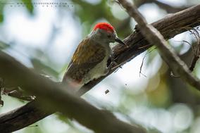 grey woodpecker, pic goertan, pito gris occidental, Nicolas Urlacher, wildlife of kenya, birds of Kenya