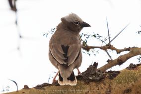 grey-capped social weaver, gre-headed social weaver, républicain d'Arnaud, tejedor social de arnaud, birds of kenya, wildlife of kenya