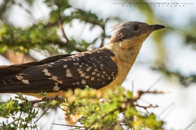 Great spotted cuckoo, coucou geai, crialo europeo, Häherkuckuck, Clamator glandarius, Nicolas Urlacher, wildlife of kenya, birds of kenya, birds of africa