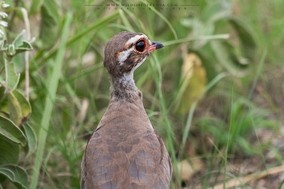 bronze-winged courser, violet-tipped courser, birds of kenya, birds of tsavo, Rhinoptilus chalcopterus, courvite à ailes bronzées, corredor patirrojo