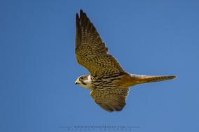 Eurasian hobby, Falco subbuteo, faucon hobbereau, alcotan europeo, birds of prey of kenya
