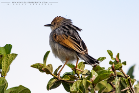 Cisticola marginatu, winding cisticola, birds of kenya, wildlife of kenya