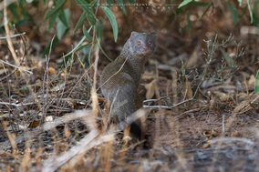 slender mongoose, Herpestes sanguineus, mangouste svelte, mangosta rufa, wildlife of kenya