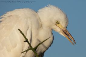 cattle egret, Bubulcus ibis, héron garde-boeufs, garcilla bueyera, birds of kenya, wildlife of kenya