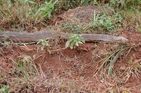 african rock python, python de seba, piton de seba, snakes of kenya, wildlife of kenya, nairobi national park