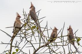 blue-naped mousebird, coliou huppé, pajaro raton nuquiazul, birds of kenya, wildlife of kenya