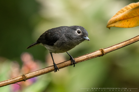 white-eyed slaty flycatcher, gobemouche de fischer, papamoscas de fischer, Nicolas Urlacher, wildlife of Kenya, bird of kenya, bird of africa, ornithology