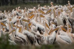 great white pelican, pélican blanc, pelicano comun, birds of kenya,  wildlife of Kenya
