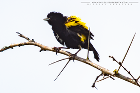 yellow bishop, cape bishop, cape widow, euplecte a croupion jaune, obispo caligualdo, Euplectes capensis, birds of kenya, birds of africa, wildlife of kenya, Nicolas Urlacher