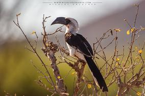 von der decken's hornbill, calao de der decken, toco de von der decken, birds of kenya, wildlife of kenya